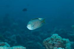 BD-121125-Aqaba-6834-Genicanthus-caudovittatus-(Günther.-1860)-[Zebra-angelfish].jpg
